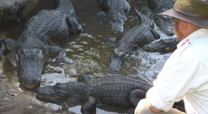 Gatorland_orlando_attractions_american_vacation_living-420x230 - disney